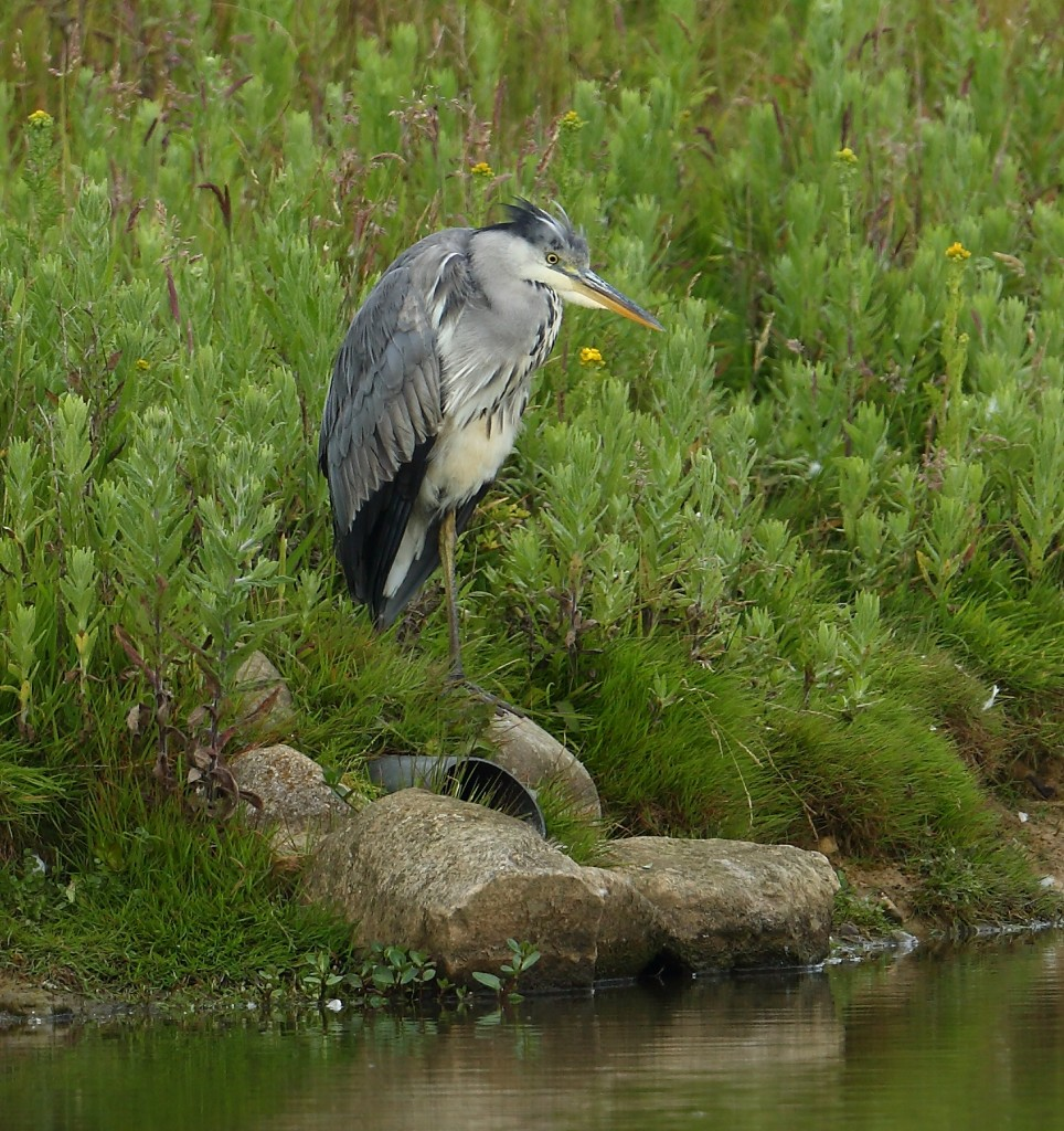 Grey Heron, Thornwick Pools, by Alan Walkington