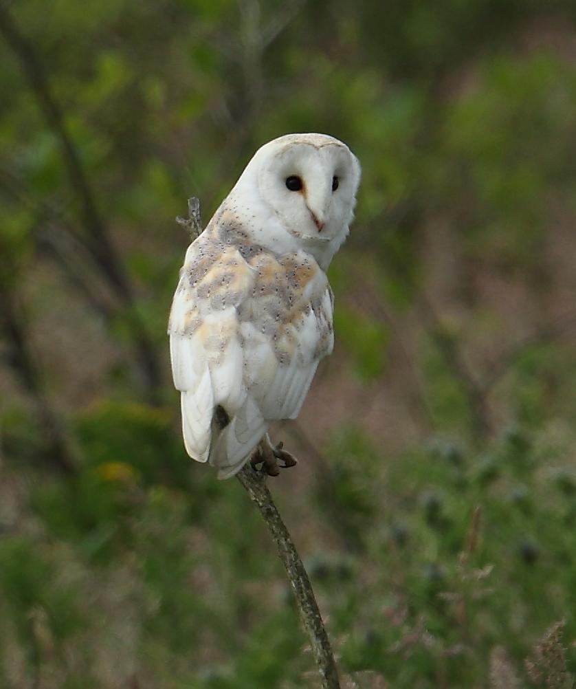 Barn Owl, Thornwick, by Alan Walkington