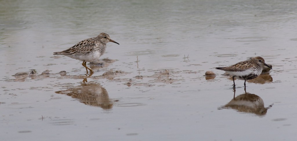 Pectoral Sandpiper with Dunlin, Thornwick Pools, by Craig Thomas