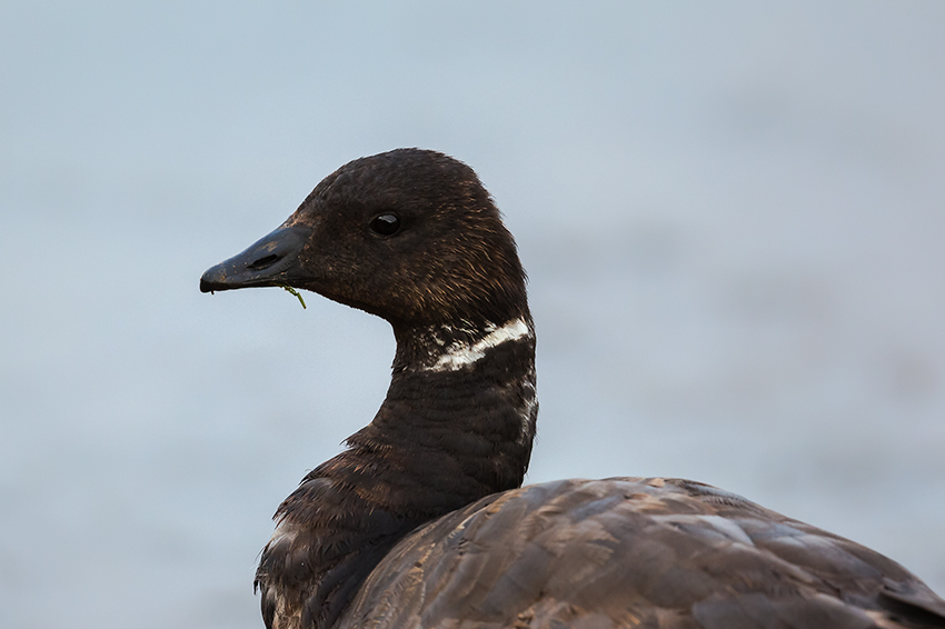 Brent Goose, Thornwick Pools, by Andrew Allport