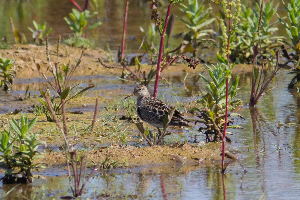 Pectoral Sandpiper, Thornwick Pools, by Dave Aitken