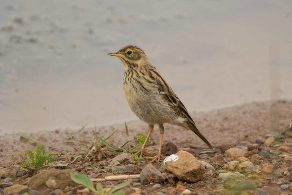 Meadow Pipit, Thornwick Pools, by Les Day