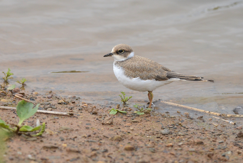 Little Ringed Plover, Thornwick Pools, by Tony Simpson