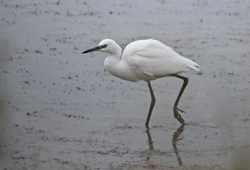 Little Egret, Thornwick Pools, by Tony Simpson