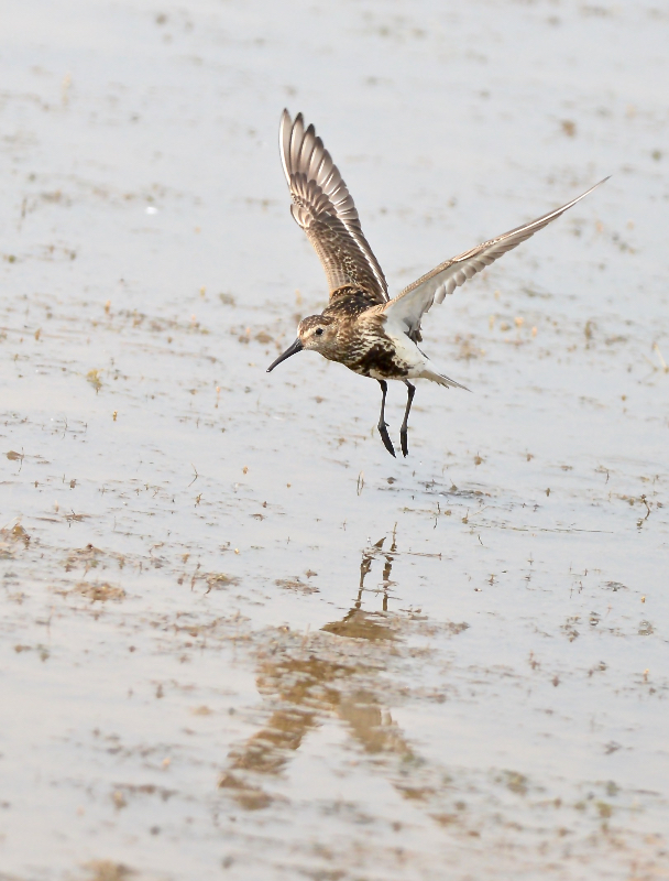 Dunlin, Thornwick Pools, by Tony Simpson