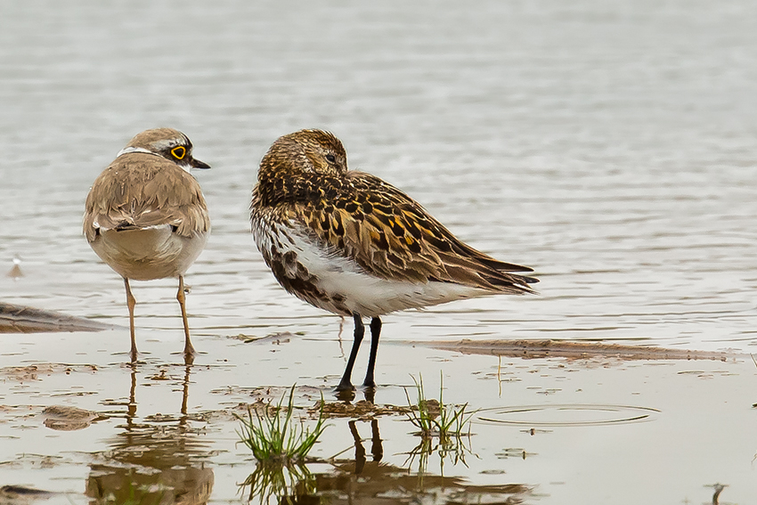 Little Ringed Plover and Dunlin, Thornwick Pools, by Andrew Allport