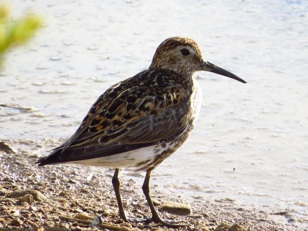 Dunlin, adult schinzii, Thornwick Pool, Flamborough, 3 Jul 16