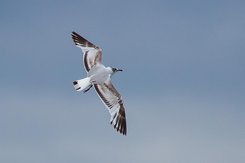 Mediterranean Gull, South Landing, by Andrew Allport