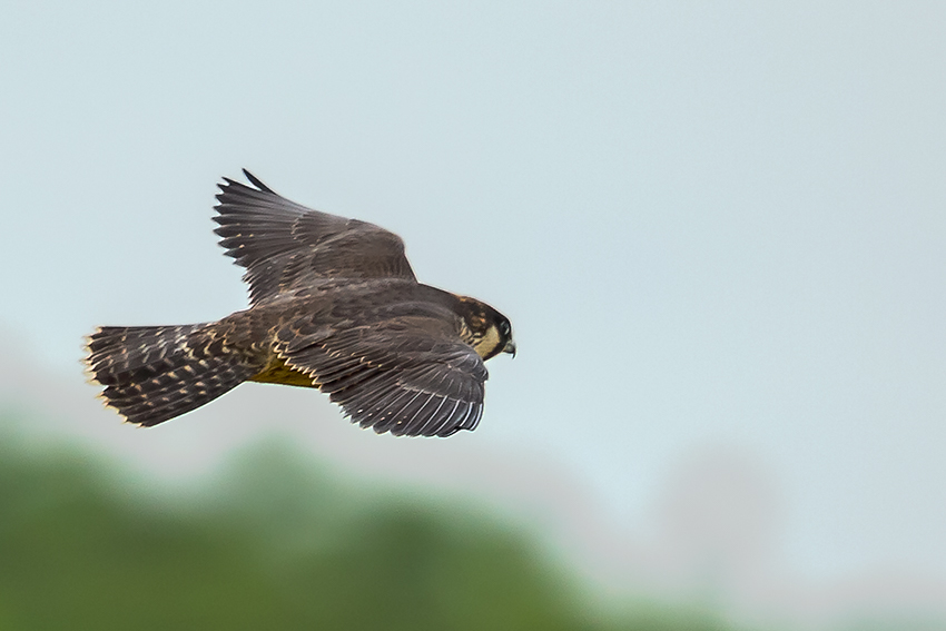 Peregrine, Outer Head, by Andrew Allport