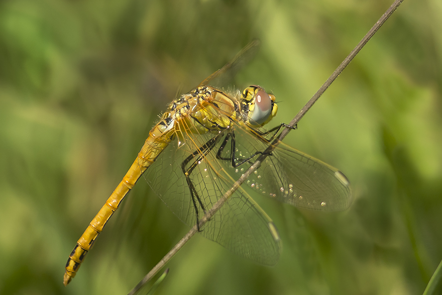 Red-veined Darter, Outer Head, by Andrew Allport