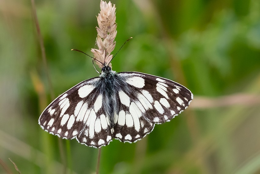 Marbled White, South Landing, by Andrew Allport