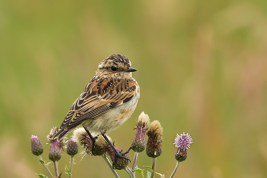 Whinchat, North Marsh, by Andrew Allport