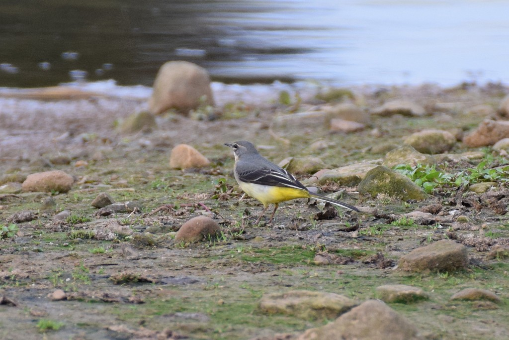 Grey Wagtail, Thornwick Pools, by Don Hustings