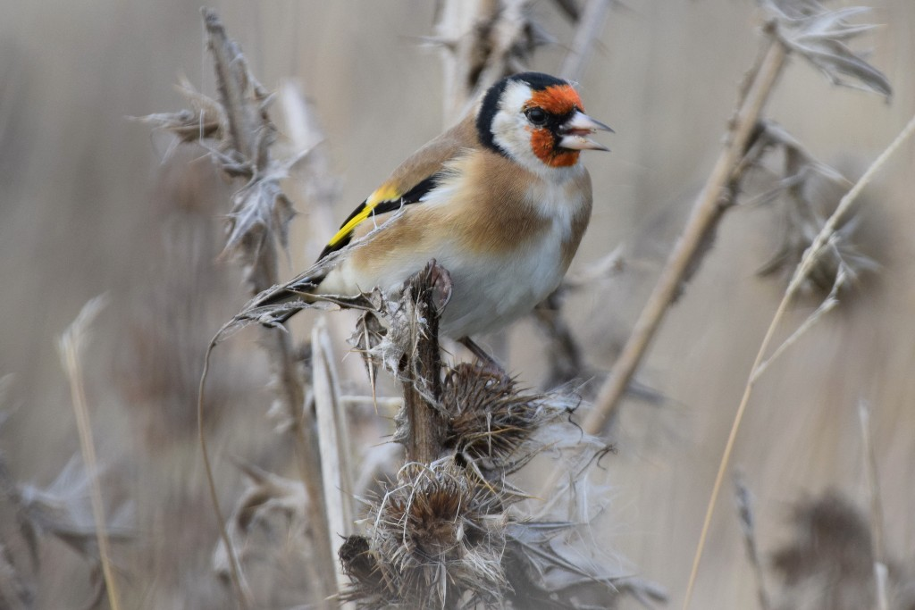 Goldfinch, Thornwick Pools, by Don Hustings