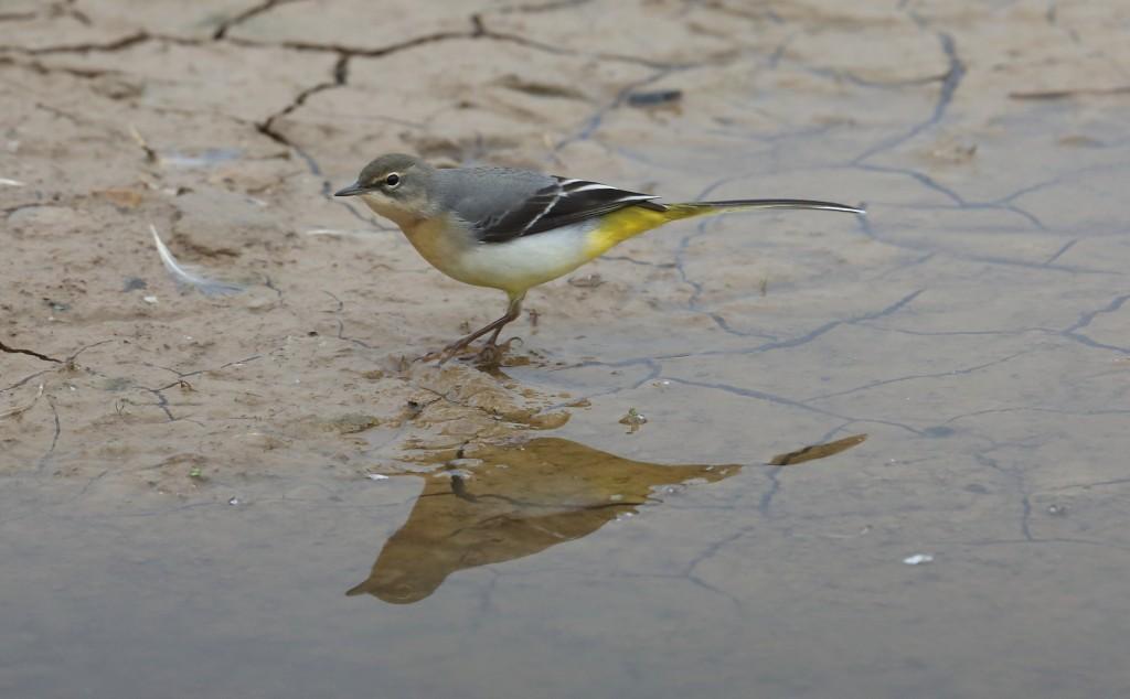 grey-wagtail-thornwick-pools-alan-walkington