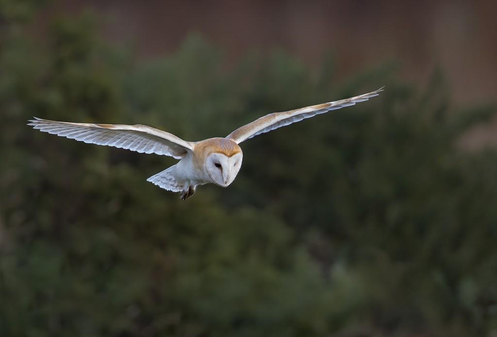 Barn Owl by Andrew Allport