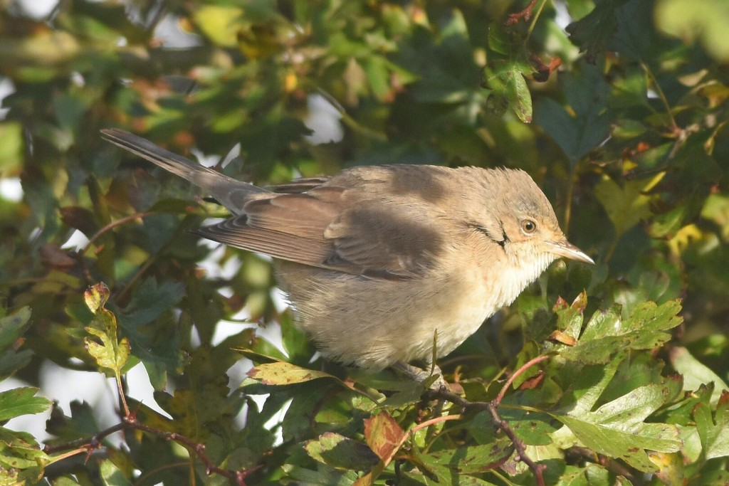 Barred Warbler by Andy Hood