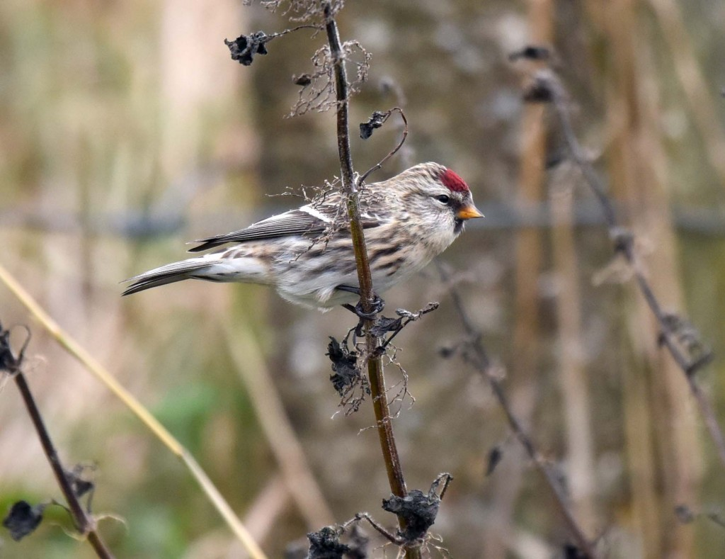 Common Redpoll by Geoff Carr