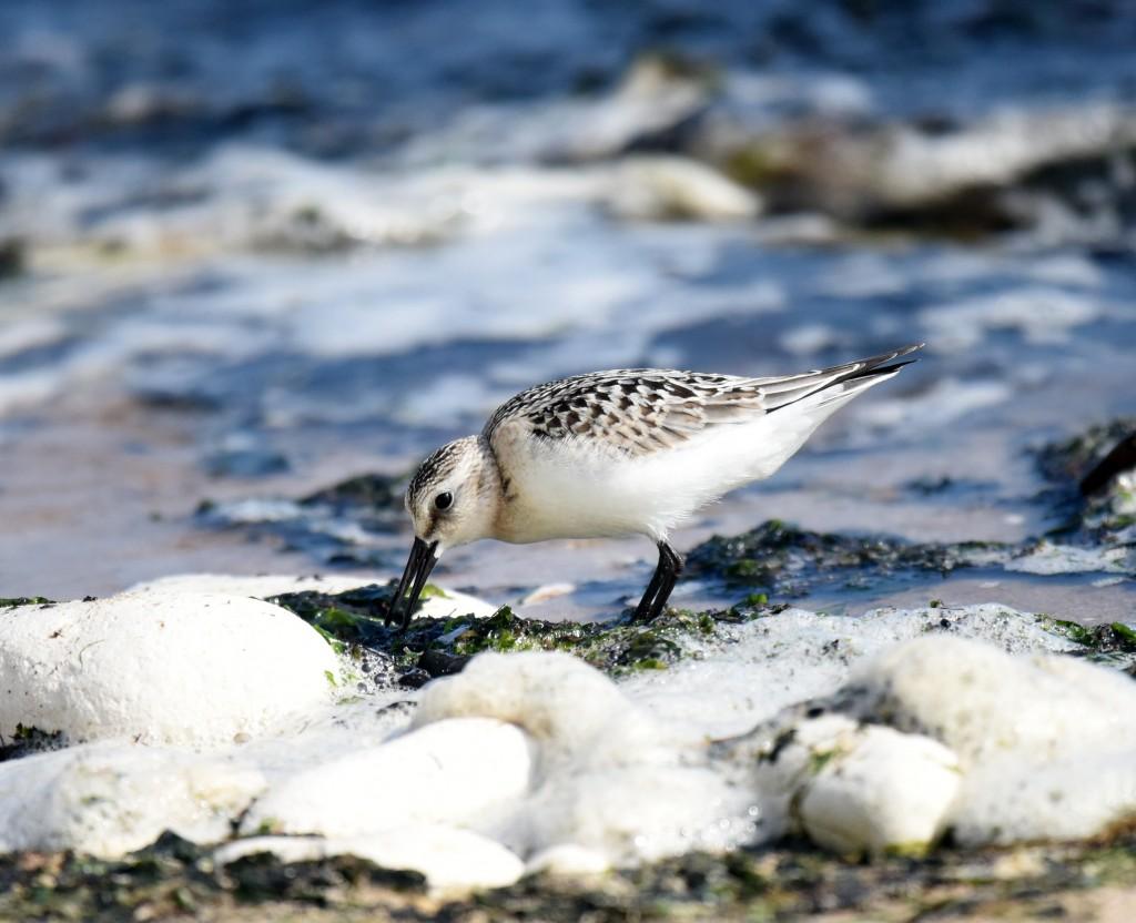 Juvenile Sanderling at South Landing by Geoff Carr