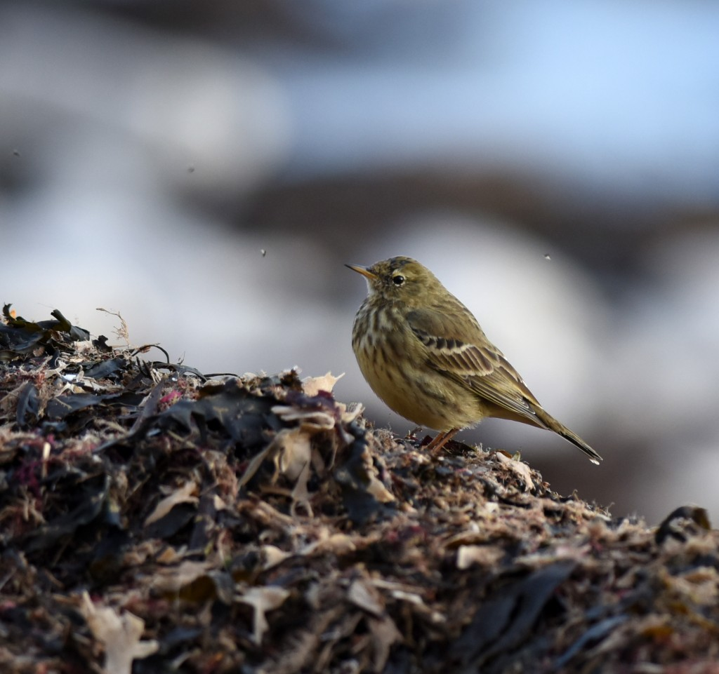 Rock Pipit South Landing by Geoff Carr