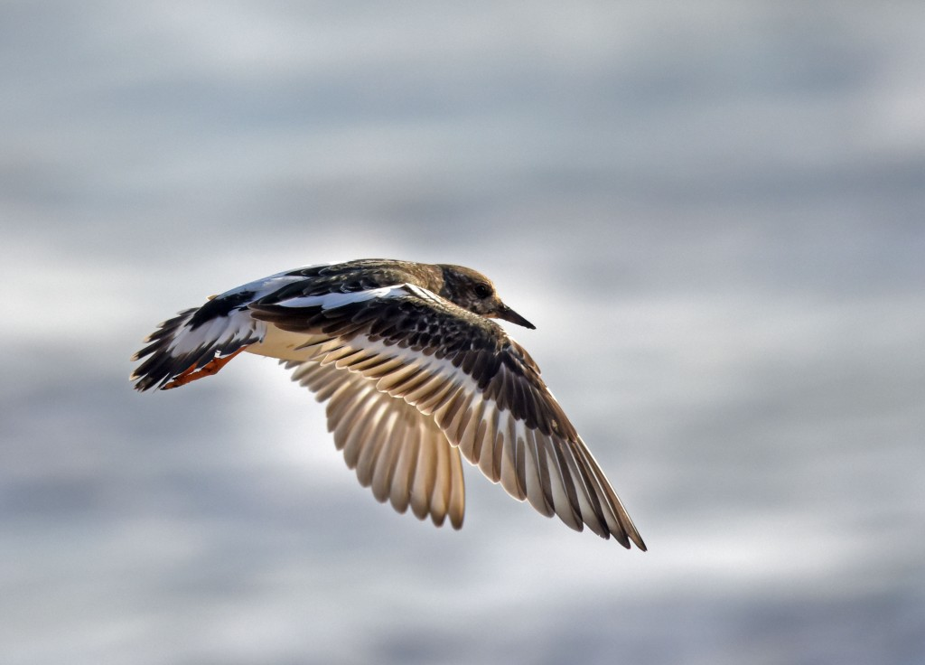 Turnstone at South Landing by Geoff Carr