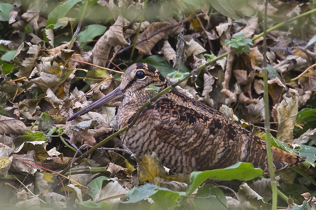 Woodcock by Andrew Alport